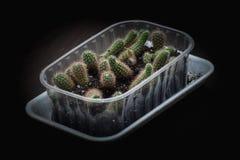 Взгляд сверху конца-вверх селективного фокуса сняло на группе grusonii Echinocactus кактуса золотого бочонка известный вид кактус стоковое изображение