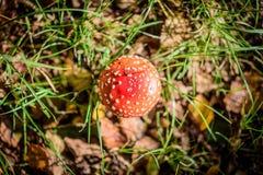 Взгляд сверху красивого красного пластинчатого гриба мухы в forrest поле Стоковое Изображение RF