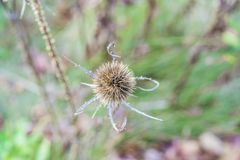 Взгляд сверху красивого острого липкого заусенца с дикими растениями в нежности Стоковые Изображения