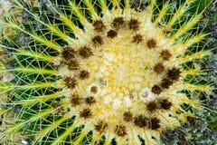Взгляд сверху крупного плана кактуса золотого бочонка на кровати гравия стоковые изображения