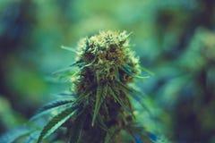 Взгляд сверху медицинского цветка завода марихуаны отпочковываясь Стоковое Изображение