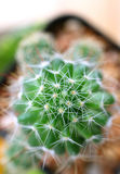 Взгляд сверху мини заводов кактуса, макрос снятых текстуры завода Стоковые Изображения RF