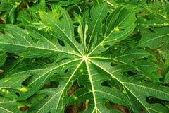 Взгляд сверху на зеленых листьях дерева папапайи Стоковое Фото