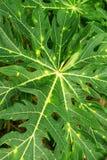 Взгляд сверху на зеленых листьях дерева папапайи Стоковая Фотография RF