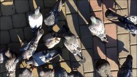 Взгляд сверху на много голубей сток-видео