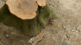 Взгляд сверху отрезанных пней дерева