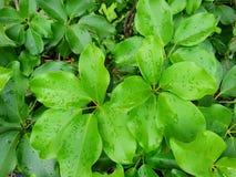 Взгляд сверху падений с ветвью и листья dwarf зонтик или дерево осьминога как предпосылка Стоковые Фотографии RF