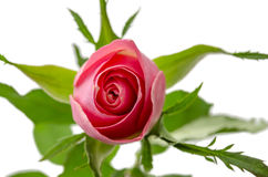 Взгляд сверху розы пинка Стоковые Фото