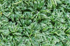 Взгляд сверху свежего завода bichetil Chlorophytum листьев Стоковая Фотография