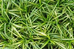 Взгляд сверху свежего завода comosum Chlorophytum листьев Стоковые Фотографии RF