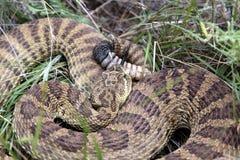 взгляд сверху rattlesnake прерии Стоковые Изображения RF