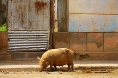 Взгляд свини идя в улицы альта Golungo, Kwanza Norte стоковое фото rf