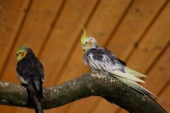 Взгляд сер-желтых мужских попугаев cockatiel стоковое фото