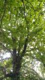Взгляд снизу дуба & неба стоковая фотография