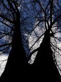 Взгляд снизу на соединиенных разветвляя деревьях на предпосылке голубого неба Стоковое Фото