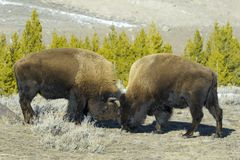 Взгляд со стороны американского бизона воюя в wintertime Стоковые Изображения