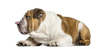 Взгляд со стороны английского бульдога, собака вставляя язык вне, iso стоковое фото rf