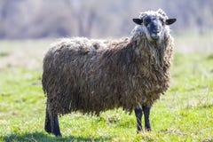 Взгляд со стороны больших здоровых овец при длинная курчавая белая серая ватка стоя самостоятельно в зеленом травянистом поле смо стоковые фото