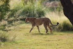 Взгляд со стороны гепарда идя в высокорослую траву Стоковые Фото