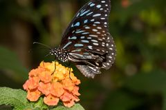 Взгляд со стороны голубого запятнанного нектара бабочки выпивая со своим хоботком стоковые фото