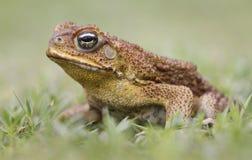 Взгляд со стороны жабы тросточки Стоковые Фото