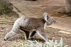 Взгляд со стороны коалы Стоковые Изображения RF