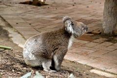 Взгляд со стороны коалы Стоковая Фотография RF