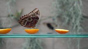 Взгляд со стороны конца-вверх нектара голубой бабочки peleides Morpho коричневой выпивая на цитрусовых фруктах на blury серой пре акции видеоматериалы