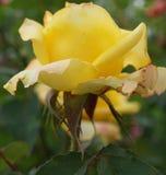 Взгляд со стороны конца-вверх яркого желтого кавказца розы цветка стоковые фотографии rf