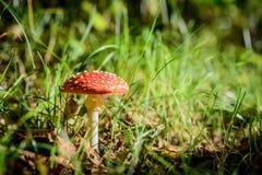 Взгляд со стороны красивого красного пластинчатого гриба мухы в forrest поле Стоковая Фотография RF
