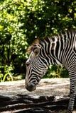 Взгляд со стороны крупного плана зебры на солнечный день стоковая фотография rf