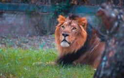 Взгляд со стороны льва стоковая фотография