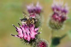 Взгляд со стороны макроса бело-серой кавказской пчелы Hymenoptera Megac Стоковое Изображение