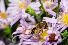 Взгляд со стороны макроса кавказского цветка пушистый striped муха в стоковые изображения