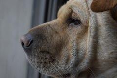 Взгляд со стороны стороны собаки sharpei смотря безграничность стоковое фото rf