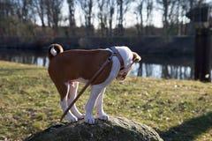 Взгляд со стороны щенка basenji 2 тонов смотря, что и стоя на утесе в meppen emsland Германия стоковая фотография