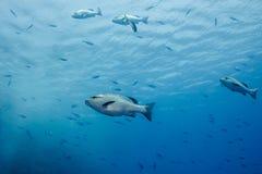Взгляд со стороны Lutjanus луциана Twinspot bohar больших серебряных рыб Стоковое фото RF