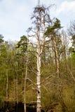 Взгляд сухой сосны на предпосылке зеленых деревьев и травы стоковые изображения rf