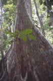 Взгляд тропических джунглей с самым высокорослым деревом и поддерживанных корней в caribensis Венесуэлы Gyranthera национального  стоковое фото