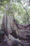 Взгляд тропических джунглей с самым высокорослым деревом и поддерживанных корней в caribensis Венесуэлы Gyranthera национального  стоковые фотографии rf
