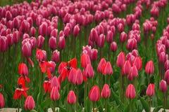 Взгляд тюльпанов весны зацветая розовый Сад тюльпанов весной зацветая Зацветая розовые цветки тюльпана в весеннем времени Пинк цв стоковые изображения rf