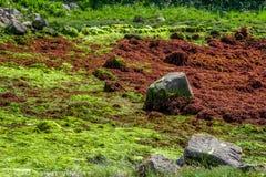 Взгляд фантазии зеленых и сухих водорослей заводов моря на ne побережья стоковые фото