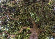 Взгляд хобота и кроны старого плоского дерева в Барселоне, Испании стоковые изображения