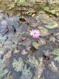 Взгляд цветка свежий цветка лотоса стоковое изображение rf
