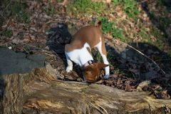 Взгляд щенка basenji 2 тонов обнюхивая на земле леса внутри meppen emsland Германия стоковые фотографии rf