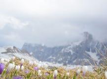 Взгляд blossoming цветков крокуса Стоковое Фото