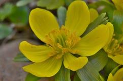 Взгляд Eranthis цветка детали, южной Богемии Стоковое фото RF