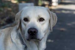 взгляд retriever задего щенка labrador собаки предпосылки серый Собака прогулка парка Стоковое Изображение RF