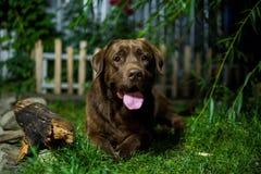 взгляд retriever задего щенка labrador собаки предпосылки серый шоколад labrador Собака Брайна на зеленом backg Стоковая Фотография RF