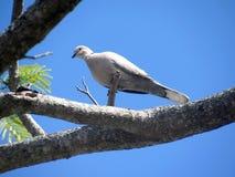 Взгляд s-глаза ` птицы табака нырнул на ветви Стоковое Фото